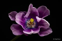 Lilac tulip (Magda Banach) Tags: canon canon80d sigma150mmf28apomacrodghsm blackbackground colors flora flower lilac macro nature plants tulip