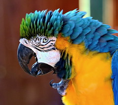 Don't Get All Flustered (Darts5) Tags: macaw macawparrot blueandgoldmacaw parrot parrots parrothead jimmybuffett jimmybuffettfan bird birds 7d2 7dmarkll 7dmarkii 7d2canon ef100400mmlll animal nature closeup canon7d2 canon7dmarkii canon7dmarkll canon canonef100400mmlii