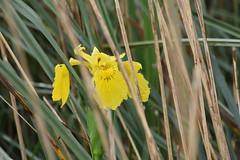 Iris pseudacorus (esta_ahi) Tags: deltadelebro iris pseudacorus irispseudacorus lirioamarillo iridaceae flor flora flores silvestres yellow baixebre tarragona spain españa испания lampolla