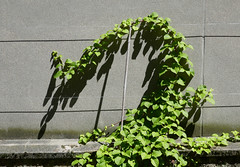 Vine on the move, at something less than a snail's pace (Monceau) Tags: vine onthemove slowly growing