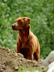 Friendly (Ovidiu S.) Tags: dog brown friend sony animal lucky hx hx300v dschx300