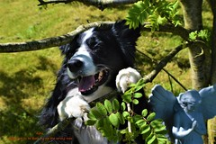 Happy not to be barking up the wrong tree (ASHA THE BORDER COLLiE) Tags: happy dog picture tree angel garden sweet border collie asha star county down