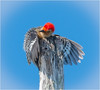Red Bellied Woodpecker ( Hanging On ) (billkominsky ) Tags: naturethroughthelens coth5