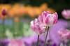 Harmony (EdiB.) Tags: tulip flower colors spring garden macro