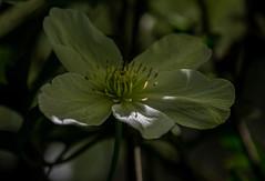 Dash of light (neil 36) Tags: green clematis shade sunlight my garden stamens shaded petals nature flora