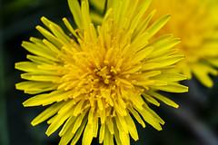 Spring Weeds (Kevin Tataryn) Tags: flower weed dandelion spring lawn growing nikon d500 tokina 10mm macro