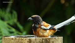 IMG_4079 Rufous Treepie (Dendrocitta vagabunda) (vlupadya) Tags: greatnature animal aves fauna indianbirds rufous treepie dendrocitta kundapura karnataka
