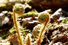Dryopteris filix-mas (Dryopteridaceae) (Nuuksio national park, Espoo, 20180514) (RainoL) Tags: crainolampinen 2018 201805 20180514 dryopteridaceae dryopteris dryopterisfilixmas esbo espoo finland fz200 geo:lat=6031337392 geo:lon=2462382523 geotagged kivikkoalvejuuri malefern may nationalpark nouxnationalpark nuuksionationalpark nuuksionkansallispuisto nyland spring uusimaa velskola vällskog fin circinatevernation