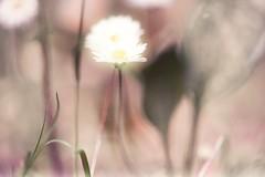 Gänseblümchen (max5hb) Tags: pixelpeeper pixel peeper macro macrounlimited nikon d800e flower adobe photography photoshop nationa nature gänseblümchen