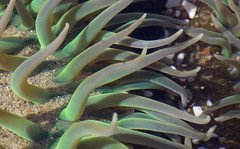 Tentacular III (Jeff Goddard 32) Tags: tidepools macro seaanemone
