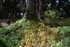 Unplugged (-»james•stave«-) Tags: sanfrancisco sf california ca nature tree woods forestfloor flowers nasturtiums hiker backpacker goldengatepark unplug escape nikon d5300
