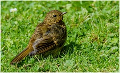 Fresher IIa (lukiassaikul) Tags: wildlifephotography wildanimals wildbirds gardenbirds urbanwildlife littlebirds robin juvenilerobin europeanrobin sunshine spring sunbathing