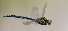 Aeshna cyanea (HelmiGloor) Tags: aeshnacynaea blaugrünemosaikjungfer southernhawker edellibellen grosslibellen dragonfly schafisheim handheld freihand wildlife insekten insecta macro makro