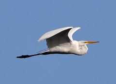 05-23-18-0019419 (Lake Worth) Tags: animal animals bird birds birdwatcher everglades southflorida feathers florida nature outdoor outdoors waterbirds wetlands wildlife wings