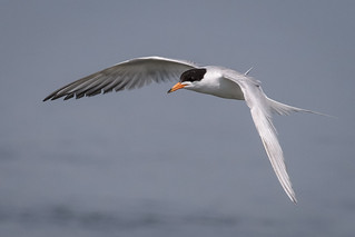 Forsters Tern fishing