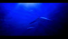 Manta Ray (andycurrey2) Tags: aquarium underwater sea ocean ray nature animal blue canon digital art