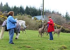 Cindy is very popular with the deer & Joe (debstromquist) Tags: louiseshouse stepaside countydublin ireland family spring sikadeer deer friends