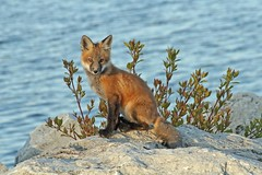Sweet Shy Blackface (marylee.agnew) Tags: vupes red fox kit pup baby spring small innocent cute nature outdoor wildlife sweet young lake plants