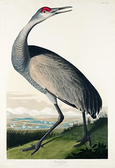 Hooping Crane from Birds of America (1827) by John James Audubon (1785 - 1851), etched by Robert Havell (1793 - 1878). The original Birds of America is the most expensive printed book in the world and a truly awe-inspiring classic. (Free Public Domain Illustrations by rawpixel) Tags: antigonecanadensis birdsofamerica hoopingcrane johnjamesaudubon roberthavell sandhillcrane america bird
