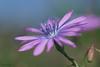 Pistils pastels (jpto_55) Tags: fleur roussillon pyrénéesorientales france macro fuji fujifilm xe1 omlens om85mmf2 laituevivace asteraceae lactucaperennis bokeh vivace flickrunitedaward