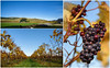 Postcard From the Waipara Valley (Jocey K) Tags: terraceedgewinery greystonewinery grapes scene autumn grapevines hills newzealand nikond750 southisland waiparavalley northcanterbury