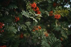 Icelandic flora (desomnis) Tags: bokeh dof depthoffield 35mm sigma35mm sigma35mmf14dghsmart sigma35mmf14 sigma35mmf14art desomnis 5d canon5dmarkiv canon5d plants vogelbeere sorbusaucuparia rowan mountainash iceland