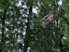 Peregrine (Jon David Nelson) Tags: peregrinefalcon falcoperegrinus raptors birdsofprey education centraloregon conservation highdesert