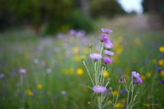 Asteraceae (Capturedbyhunter) Tags: nature fernando caçador marques fajarda coruche ribatejo santarém portugal pentax k1 smc fa 50mm 50 117 f117 f17 17 asteraceae primavera spring bokeh dof