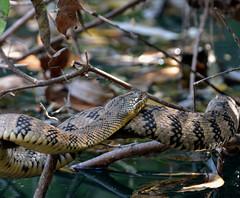 Diamond-backed water snake_ (justkim1106) Tags: snake watersnake diamondbackedwatersnake reptile wildlife texaswildlife naturepatterns scales