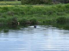Seal meal (Phil Gayton) Tags: water meadow grass animal fish grey seal halichoerusgrypus snipe island river dart totnes devon uk