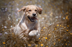 Tom (Alexandremqs) Tags: golden retriever dogs explore expression animal canon jump jumping happydogsday hapiness paws doglove dogshow breed brown gold feel flowers highland feeling statuspetsphotography spring tongue move agility hunting outside yourbestoftoday outdoors