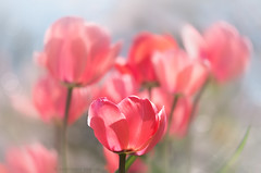 pink tulips (marianna_a.) Tags: pink tulips spring flowers windy bokeh montrealbotanicalgarden mariannaarmata hbw impessionist motion