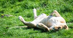 Just a Big Cat sunbathing.... (littlestschnauzer) Tags: lion lioness basking sun sunbathing back sunshine warm weather nature yorkshire wildlife park ywp uk 2018 spring female