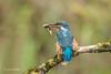 Kingfisher (Alcedo atthis) 750_0901.jpg (Mobile Lynn) Tags: wild kingfisher birds nature aves bird chordata coraciiformes fauna wildlife otterbourne england unitedkingdom gb coth coth5 ngc npc