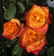 Three Cretan Beauties (Wolfgang Bazer) Tags: roses rosen blumen blüten flowers blossoms matala kreta crete may mai