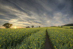 Yellow Fever (rmrayner) Tags: hdr oilseedrapeatsunset osr tractortramline trees silhouettes sky skyscape spring yellowflowers farming agriculture 522018week20outtakes