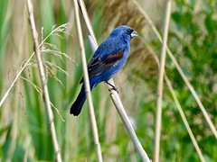 Blue Grosbeak (Passerina caerulea) (WRFred) Tags: bird nature wildlife bombayhook delaware grosbeak