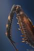 Ghost Mantis (Yousef Al-Habshi) Tags: yousefalhabshi macro insect ghost mantis leg nikon d800e uae abu dhabi