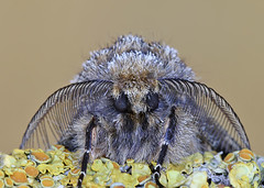 Brindled Beauty moth (Roger H3) Tags: insect moth lepidoptera beauty brindled
