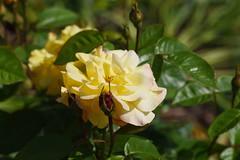 DSC_9983 (PeaTJay) Tags: nikond750 sigma reading lowerearley berkshire macro micro closeups gardens outdoors nature flora fauna plants flowers rose roses rosebuds