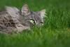 Lazy but vigilant (FocusPocus Photography) Tags: fynn fynnegan katze kater cat chat gato tier animal haustier pet gras grass rasen lawn grün green garten garden lazy faul müde tired