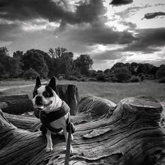 Evening walk (Flamenco Sun) Tags: dog bostonterrier park london richmond