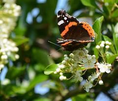 Papillon Vulcain (Marie-Line D09) Tags: mazères domainedesoiseaux ariège papillonvulcain butterfly vanessaatalanta