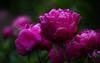 Pfingstrosen (blancobello) Tags: garden pfingstrosen peonies pink magenta sony 6500 100mm ef canon sigmamc11