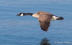 Canada goose in flight (Andrew Reding) Tags: brantacanadensis