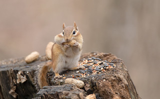Peanut Bandit