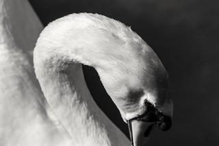 Coy Mute Swan