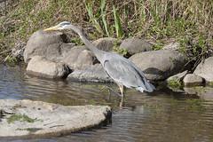 Great blue heron (Ardea herodias) (octothorpe enthusiast) Tags: ardeaherodias greatblueheron lostlagoon stanleypark vancouver britishcolumbia