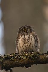Eurasian pygmy owl (Glaucidium passerinum) – sóweczka zwyczajna (tomaszberlin) Tags: owl pigmyowl poland białowieża forest nature wildlife nikon d500 birdwatching bw ng animal bird wood tree