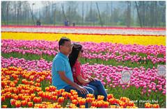 Would You Walk Around Or Just Sit Down? - Chilliwack XP7911e (Harris Hui (in search of light)) Tags: harrishui fujixpro2 digitalmirrorlesscamera fuji fujifilm vancouver richmond bc canada vancouverdslrshooter mirrorless fujixambassador xpro2 fujixcamera fujixseries fujix fuji80mmf28macro fujiprimelens sitting sitdown tulipsofthevalley chilliwack tulips flowers lover enjoy scenic candid windy breeze candidportrait silent moment